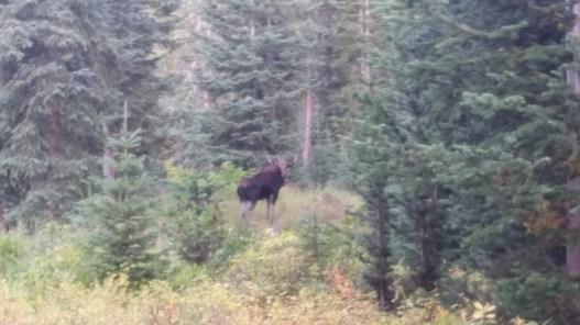 Moose at 1000+ feet