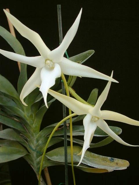 Angraecum Sesquipedale Star Of Bethlehem Orchid Darwin