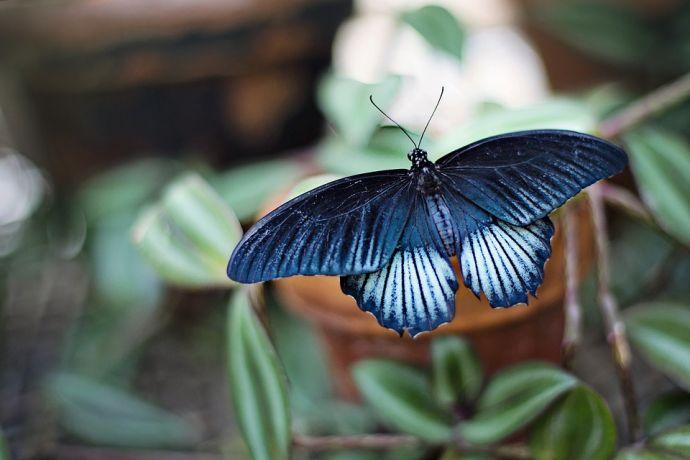 Știați că fluturii au solzi pe aripi?