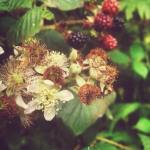 A few of the blackberries we picked