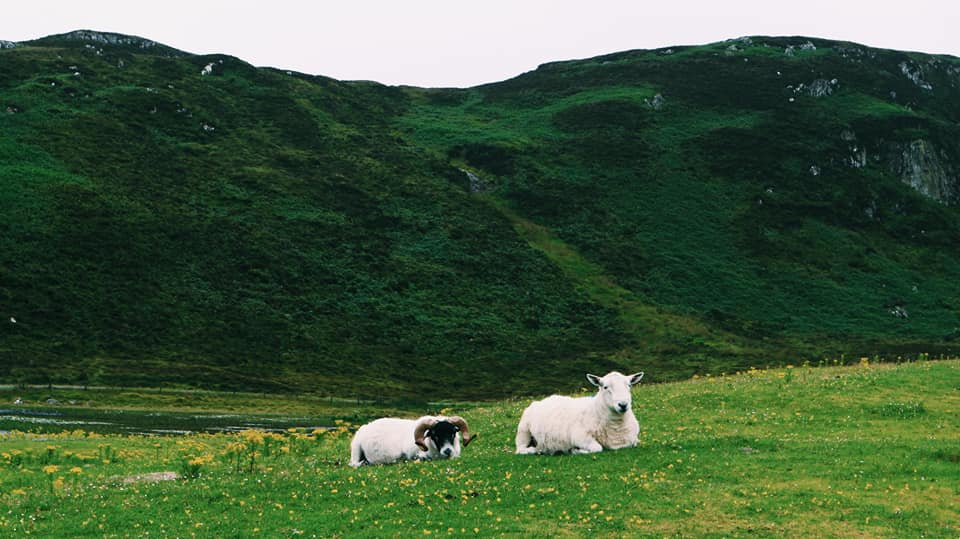 Two sheep sitting on grass