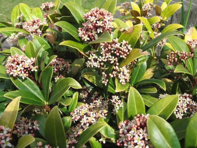 Blossoming garden shrub