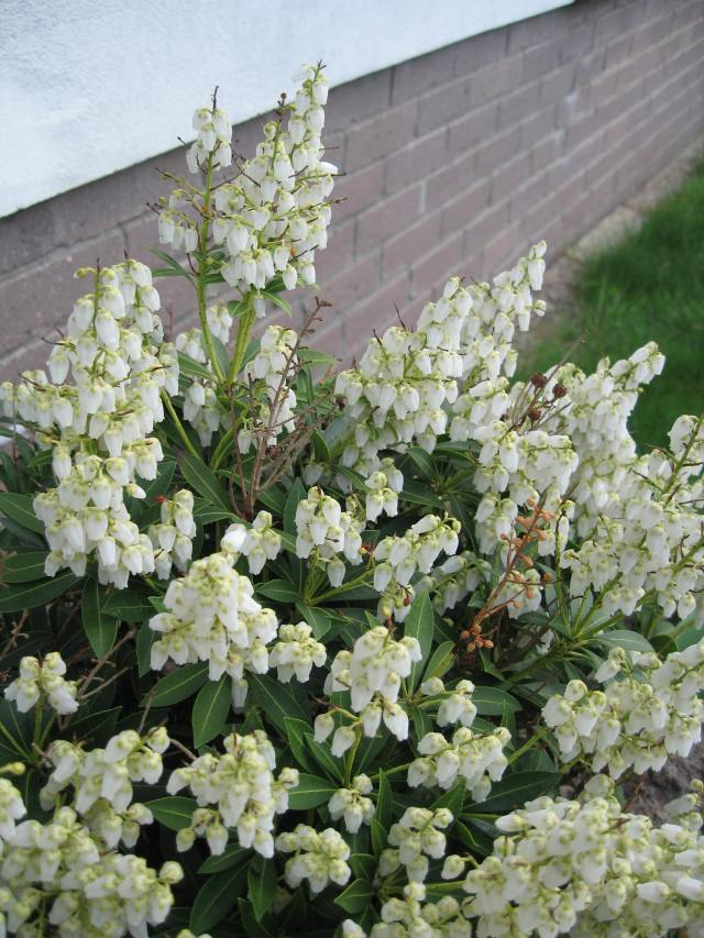 Blossoming shrub