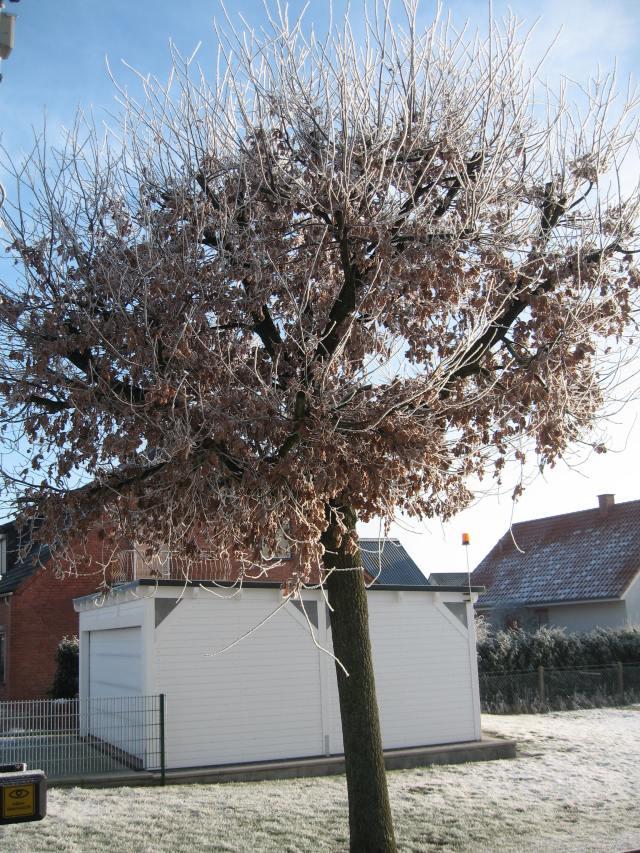 Hoarfrost oak