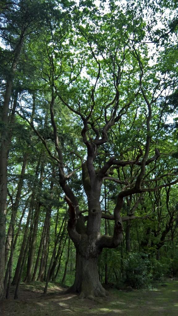 Thousand year old oak tree