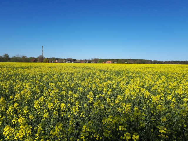 Rapessed field in full bloom near Dünsen