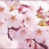 2017春・桜開花予想情報!東京はいつ咲く?卒業式や入学式は間に合う?