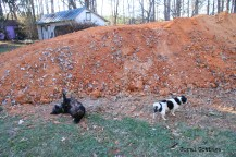 Boo and Peanut enjoy playing in the pile of dirt