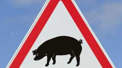 Photo of О чуме... свинках... и почему их нужно уничтожать, а не лечить