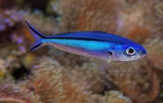Estimación de la necesidad de espacio para nadar para peces de acuario