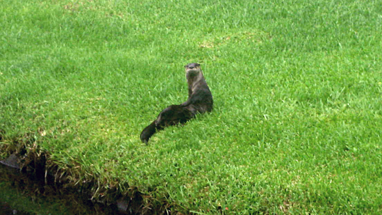 Coral Springs Family Finds Frolicking Otters in Backyard