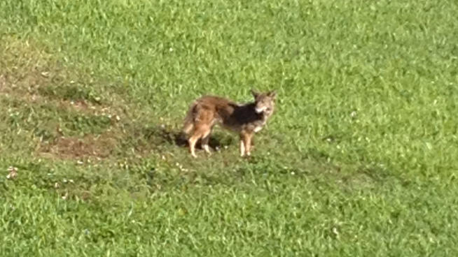Coral Springs Police Kill Coyote in Heron Bay Community