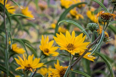 yellowblooms