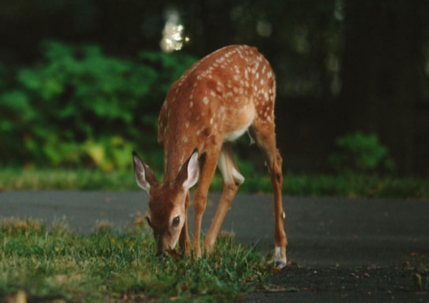 Deer on Side of The Road