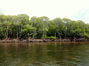 Mangroves of Kiunga-001