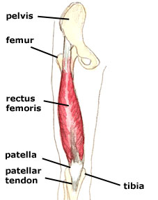 The Rectus Femoris and Lower Back Pain