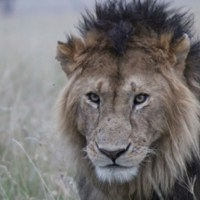 Keeping lions from livestock — building fences can save lives