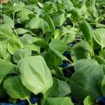 種タネの話1、今の小松菜と昔の小松菜は別モノなのはご存知ですか?