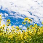 種タネの話20、GMO遺伝子組み換え農作物の問題点とは?