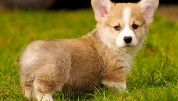 What Is The Max Temperature A Corgi Can Withstand Corgi Guide