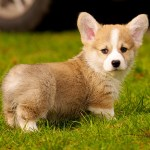 Getting a Corgi Puppy and What to Expect