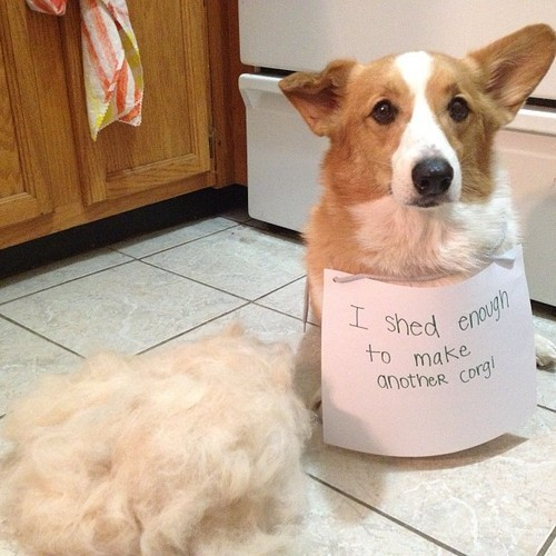 corgi-shedding