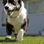 Welsh Cardigan Corgi playing
