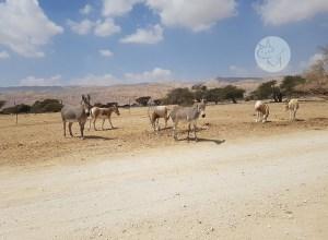 Atacul struțului, coarne ondulate și pseudo-zebre la Yotvata Natural Reserve (ep 2)