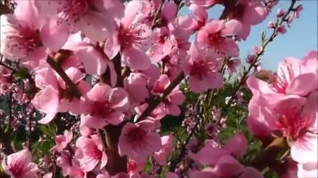 flori-de-piersic1