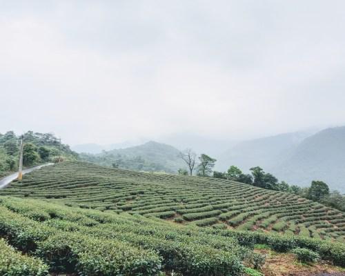 Tea Field at Kayu Campsite