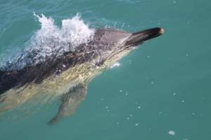 Common dolphin, 310316 P Whooley