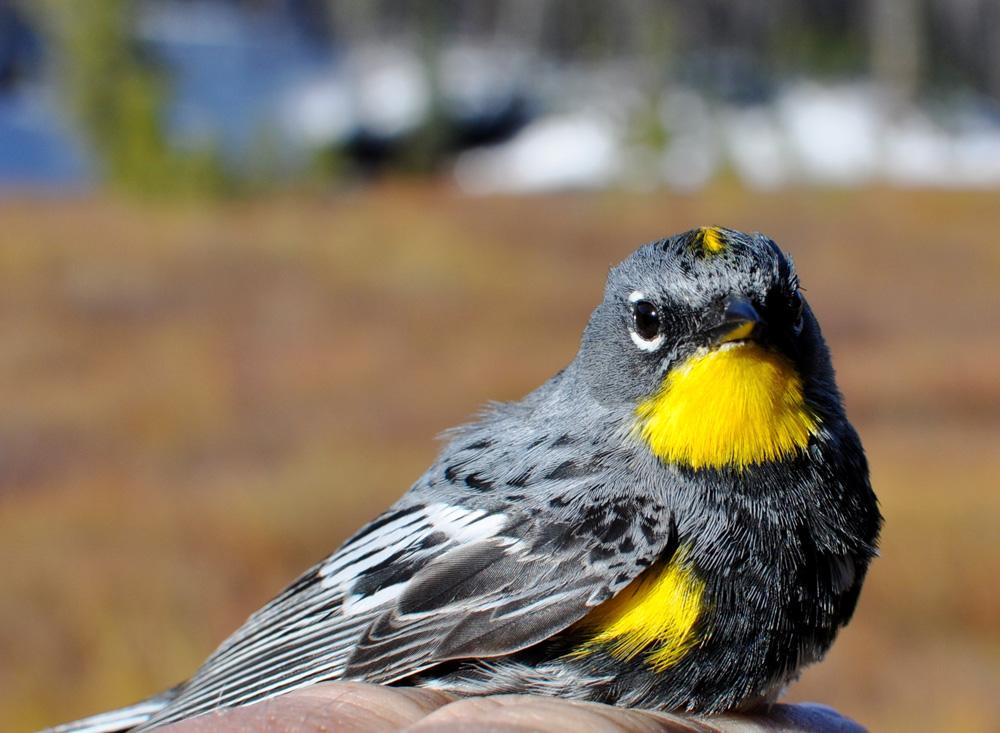 A yellow-rumped warbler sits in hybridization region in western Canada