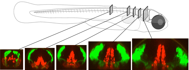 Columns in optical slices from a living zebrafish at different locations. The slice on the left is in the spinal cord; images to the right are in the brain.
