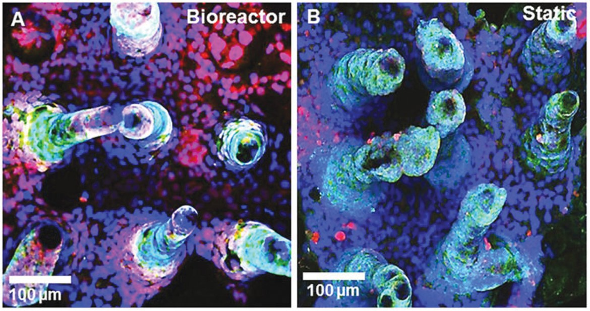 Images demonstrating the growth of cells in the 3-D printed device (L) compared to static conditions (R). Mucus growth (red) is more pronounced in the bioreactor, leading to healthier cells.