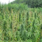 The ancient hemp plant can be used as a fiber and oil, and it also bears medicinal properties.