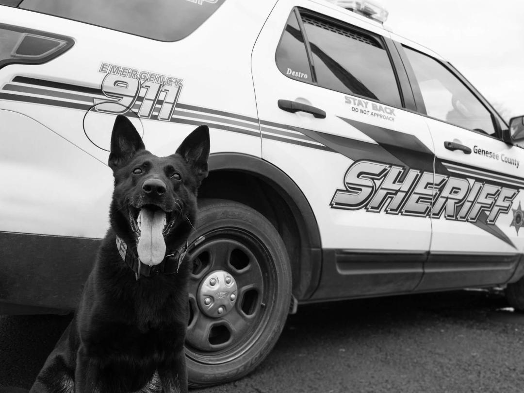 Genesee Country K9 Officer Destro died at Cornell's Companion Animal Hospital on Friday.