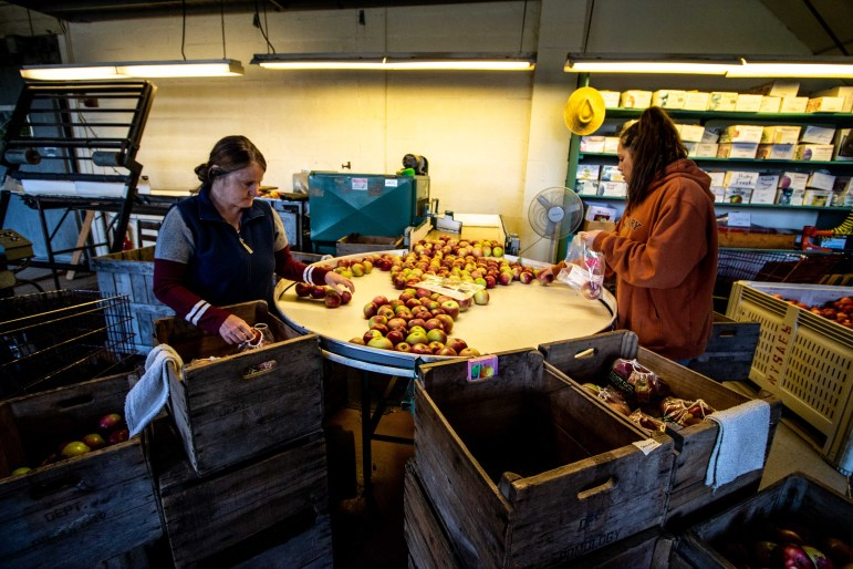 A large volume of apples are chilled and stored for sale at a later date, and the rest go into the cider press.