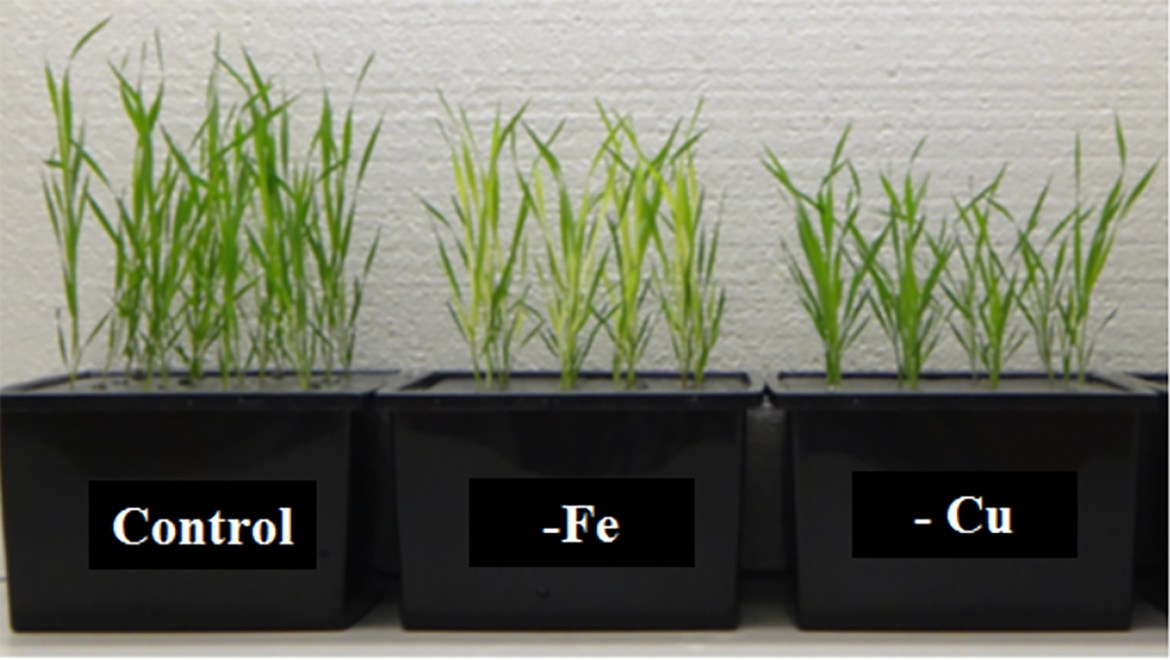 Brachypodium plants growing hydroponically under different conditions for 24 days.