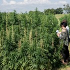 Farmers inspect a Cornell hemp research field during a field day event last August. Cornell hemp studies span a range of topics, from diseases to entomology.