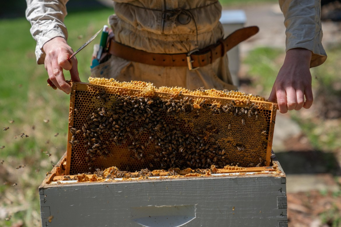 A bee keeper tends to the hives at the Dyce honey bee lab.