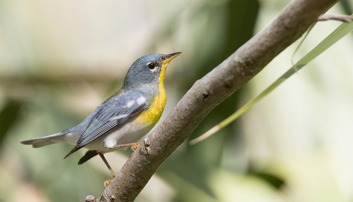 A Northern Parula sits on a tree branch at Cornell's Lab of Ornithology.
