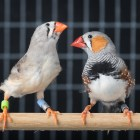 A female (left) and male (right) zebra finch. When young males are learning to sing, adjusting their vocalizations in response to the behaviors of females allows them to develop a better song.