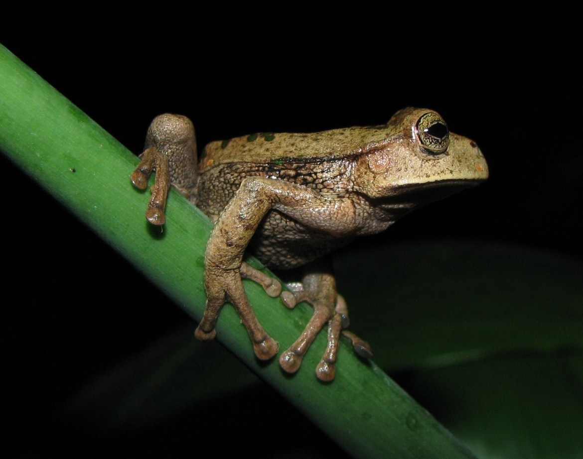 """Espada's marsupial frog, near the Gocta Waterfall in the Chachapoyas province of Peru. As a threat to wildlife, an amphibian fungus has become """"the most deadly pathogen known to science."""""""