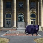 Touchdown the bear was last seen in front of Goldwin Smith Hall this morning, before his tragic demise. Pollack and Lombardi have yet to release a statement on the mysterious death. (Boris Tsang/Sun Photography Editor)