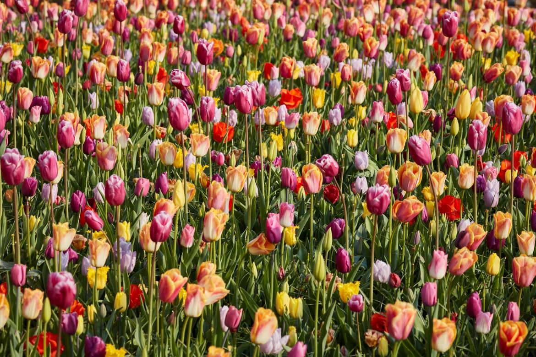 Tulips at the Keukenhof garden's annual exhibit of bulbs in Lisse, Netherlands.
