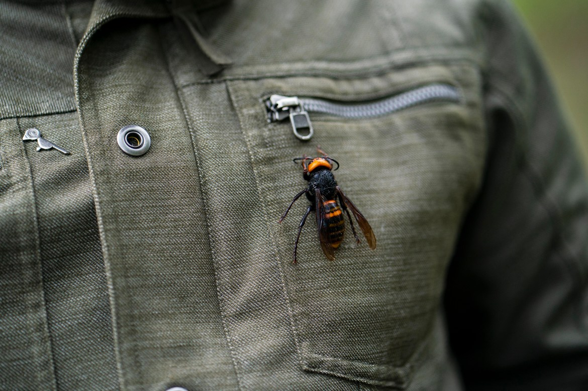 "Despite quickly gaining a sinister reputation as ""murder hornets,"" Asian giant hornets, spotted for the first time ever in North America last year, likely pose a much greater risk to the health of bees than humans."