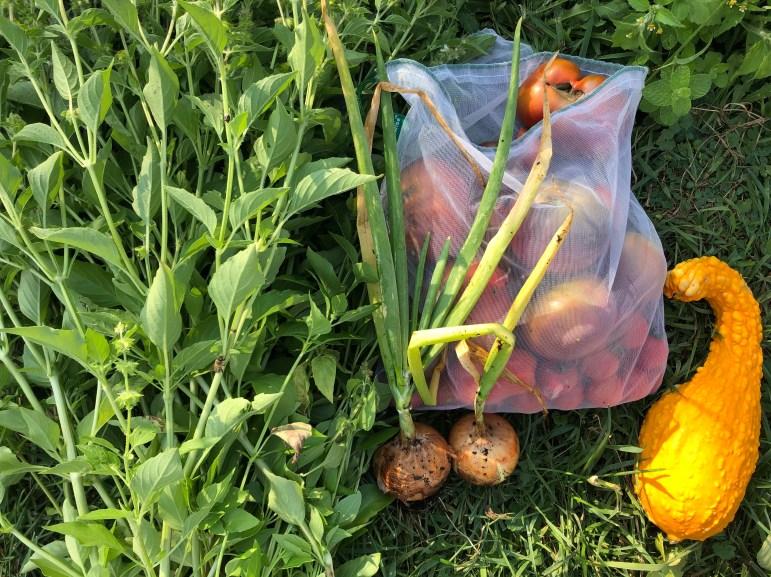 A summer vegetable harvest (Brianna Johnson, Sun Contributor)