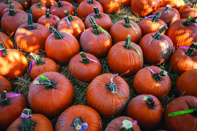 Pumpkins at Indian Creek Farm. Students are gearing up for a Halloween without parties and large group costumes.