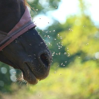 Homemade Fly Spray With Essential Oils - Cornerstone Equine Academy