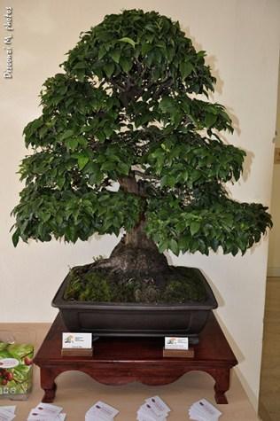 bonsai-corniola